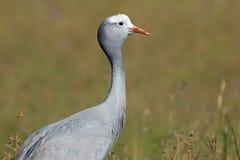 Blue crane portrait Stock Photo