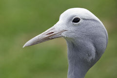 Blue crane profile Stock Photo