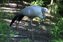 Blue crane. Crane searching for food in a pond Stock Photography