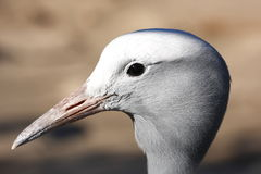 Blue Crane side profile Royalty Free Stock Image