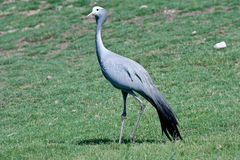 Blue Crane. A blue crane stands in a grassy plain Royalty Free Stock Image