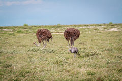 Blue crane with two Ostriches. royalty free stock photos