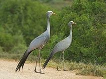 Blue Cranes Royalty Free Stock Photo