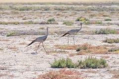 Blue cranes Stock Photos