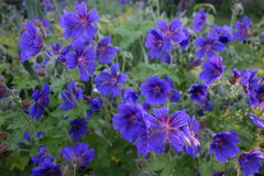 Blue Cranesbill Flowers Royalty Free Stock Images