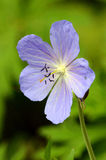 Blue Cranesbill Geranium Stock Image