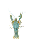 Blue crawfish alive one isolated on white Royalty Free Stock Photos