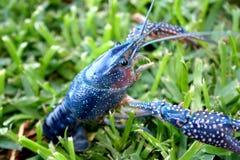 Blue Crawfish royalty free stock photography