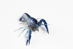 Blue crawfish Royalty Free Stock Photos
