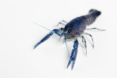 Blue crawfish a Stock Photo