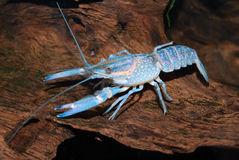 Blue crayfish Royalty Free Stock Photo