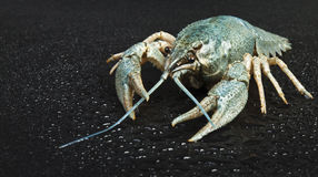 Blue crayfish Royalty Free Stock Image