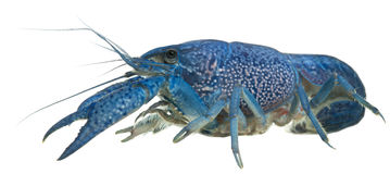 Blue crayfish Stock Images