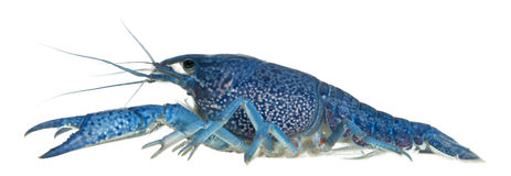 Blue crayfish Stock Photo