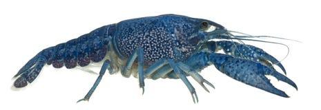 Blue crayfish Stock Photography