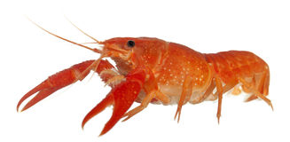 Blue crayfish Royalty Free Stock Photos