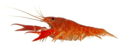 Blue crayfish Royalty Free Stock Photo
