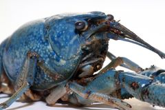 Blue crayfish Stock Images