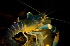 Blue crayfish  in aquarium Stock Image