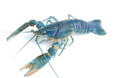 Blue crayfish - Fresh water Lobster Royalty Free Stock Images