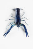 Blue crayfish Stock Photography