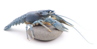 Blue crayfish. Royalty Free Stock Photography