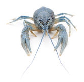 Blue crayfish. Stock Image