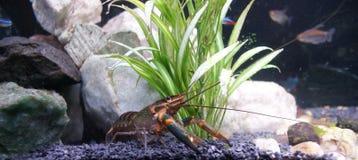 Blue Crayfish (Yabby) Stock Image