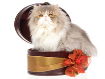 Blue cream Persian inside gift box Royalty Free Stock Images