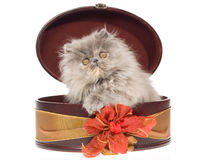 Blue cream tortie Persian kitten in gift box Stock Photo