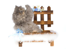 Blue cream Tortie Persian kitten on wooden bnehc Stock Images