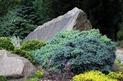 Blue creeping juniper Stock Photos