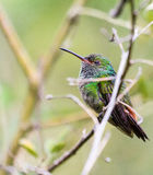 Blue-crested Hummingbird Royalty Free Stock Images