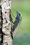 Blue-crested lizard climbing up a tree Royalty Free Stock Image