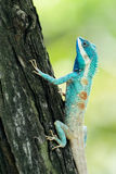 Blue-crested lizard climbing up a tree Royalty Free Stock Photo