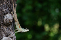 Blue-crested lizard hanging down Royalty Free Stock Image
