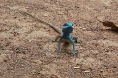 Blue crested lizard. A male blue-crested Lizard in the orchard in Thailand Royalty Free Stock Photography