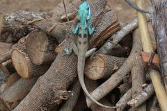 Blue crested lizard. A male blue-crested Lizard in the orchard in Thailand Royalty Free Stock Images