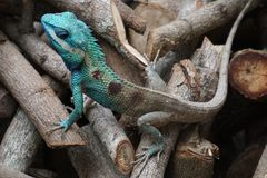 Blue crested lizard. A male blue-crested Lizard in the orchard in Thailand Royalty Free Stock Image