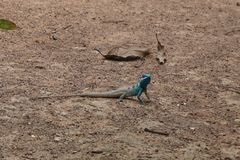Blue crested lizard. A male blue-crested Lizard in the orchard in Thailand Royalty Free Stock Photo