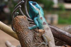 Blue crested lizard Stock Photos