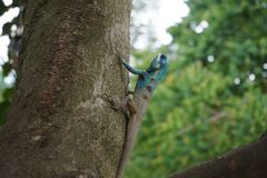 Blue crested lizard Stock Image