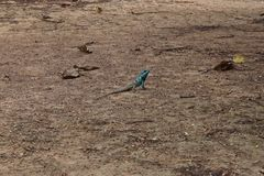 Blue crested lizard Royalty Free Stock Images