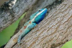 Blue-crested lizard resting on a thick branch royalty free stock image