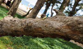 Blue-crested lizard on a tree looking away Stock Images