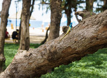 Blue-crested lizard on a tree looking away Royalty Free Stock Photos