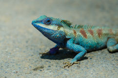Blue crested lizard in tropical forest, thailand. Blue crested lizard Calotes mystaceus in tropical forest, thailand stock image