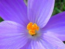 Blue crocus. Closeup of crocus petals stock photography