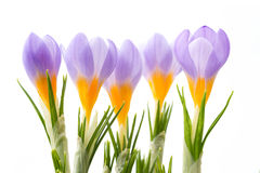Blue crocus Stock Photos