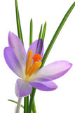 Blue crocus Stock Photography